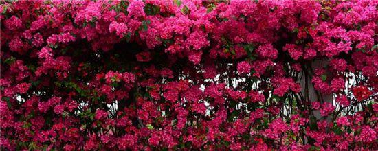夏天室外適合種什么花