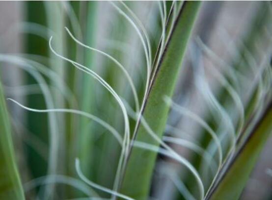 丝兰和凤尾兰的区别,教你5个辨别凤尾兰和丝兰的方式