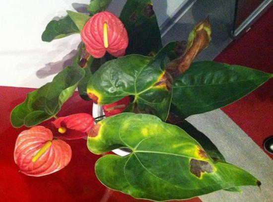 红掌叶子发黄干枯:叶子发黄干枯的原因分析及处理办法