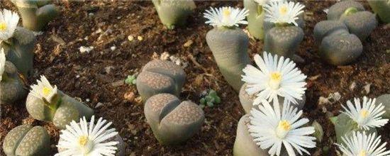 怎么辨认生石花品种?盘点生石花品种大全
