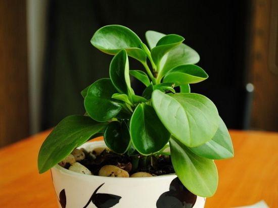 圆叶椒草栽培技术