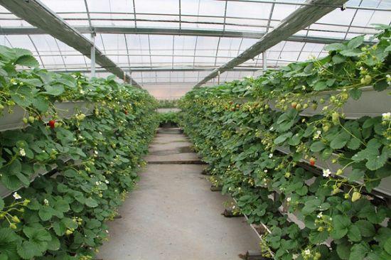 大棚草莓种植技术和注意事项