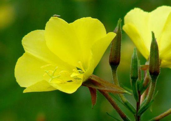 黄色月见草花卉