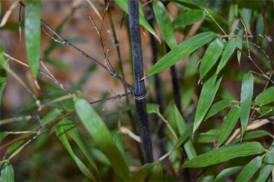 紫竹繁殖方法图片