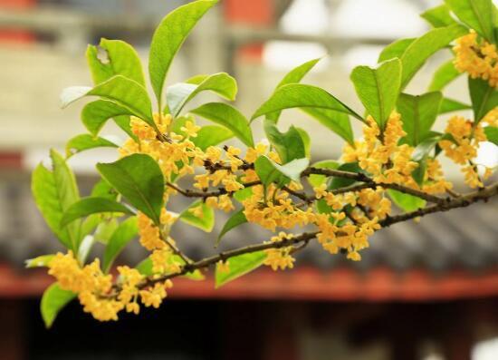 盆栽桂花掉叶子的原因和解决方法