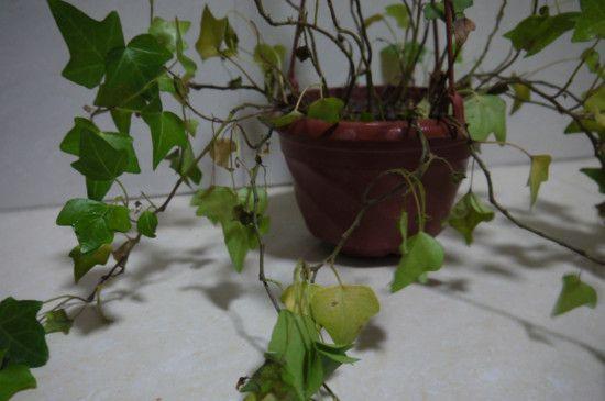 常春藤叶子一碰就掉怎么办?常春藤叶子一碰就掉的解决方法