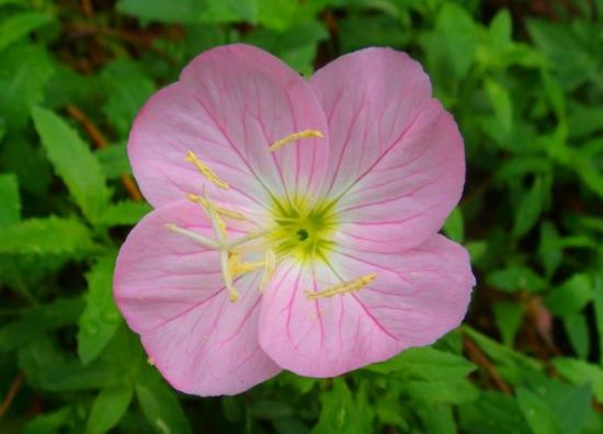 紫色月见草花卉