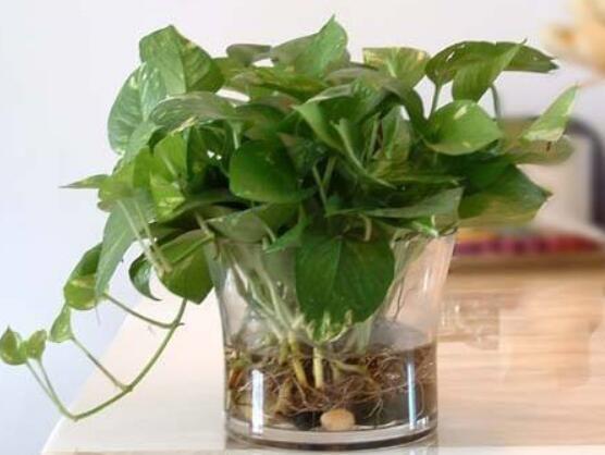 绿萝盆景的功效与作用,净化空气祛除异味还能