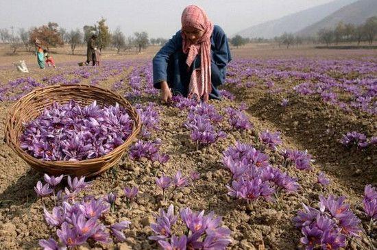 藏红花产地在哪里?原产波斯古国/现在伊朗为最