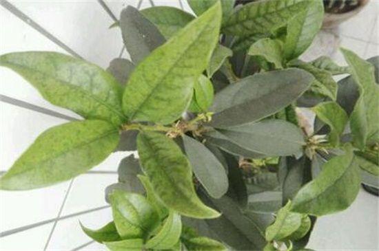桂花叶子发白的三种原因及解决方法