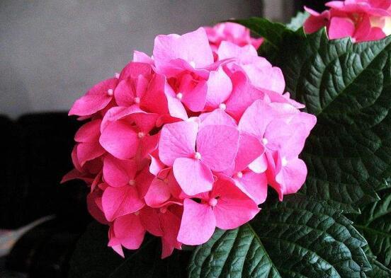 绣球花扦插方法和时间,绣球花扦插生根只需四步