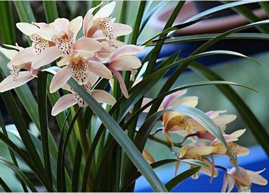 兰花叶子有黑斑怎么办,三种方法让兰花青青白白