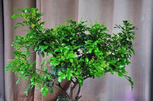 四季常绿的米兰花