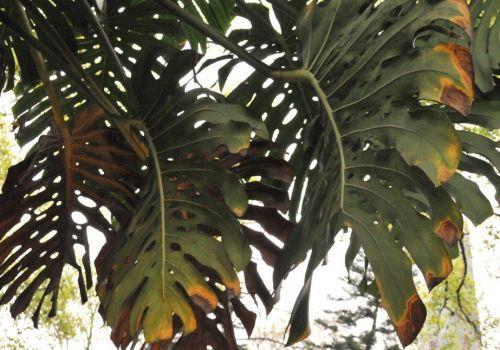 叶子发黄的龟背竹