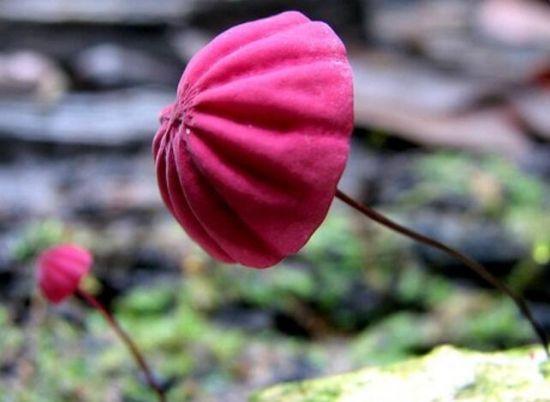 红盖小皮伞