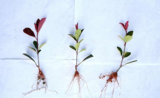 盆栽红叶石楠注意事项,盆土需适宜栽种时不可