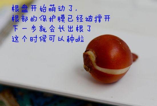 原生郁金香种球