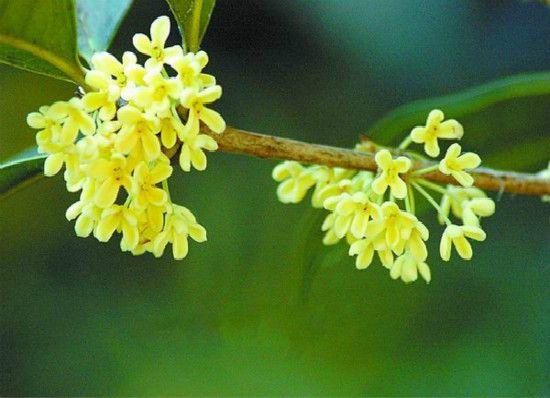 <b>桂花树的繁殖方法:压条/扦插/嫁接</b>