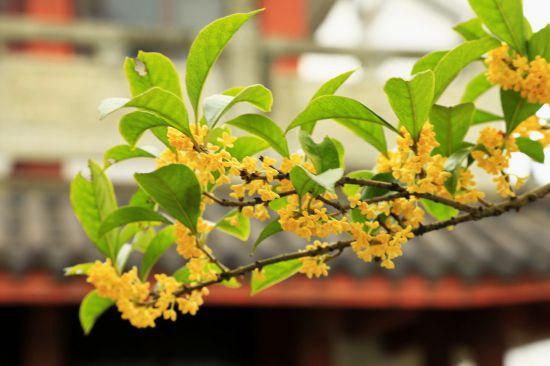 <b>桂花树可以插枝栽培移栽的注意事项</b>