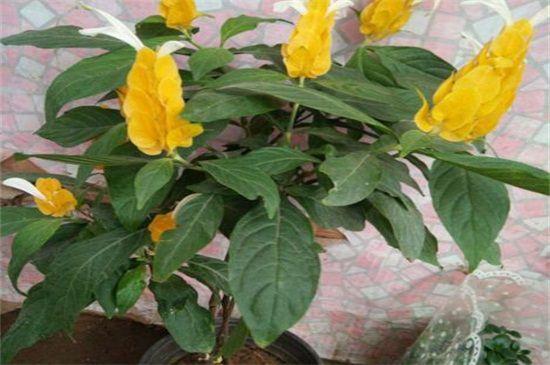 黄金塔花叶子怎么了图片