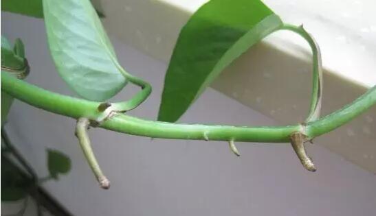 绿萝怎么剪枝水培?绿萝剪枝水培的方式