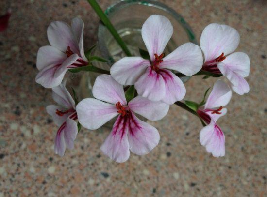 天竺葵花使用硫酸亚铁后