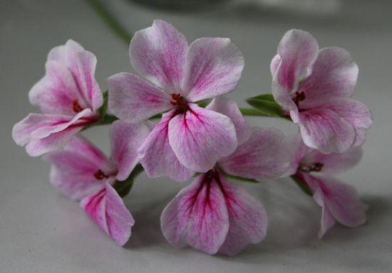 天竺葵花为什么会变色:天竺葵的花色可随土壤