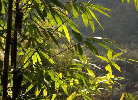 凤尾竹叶子发黄的分析及处理