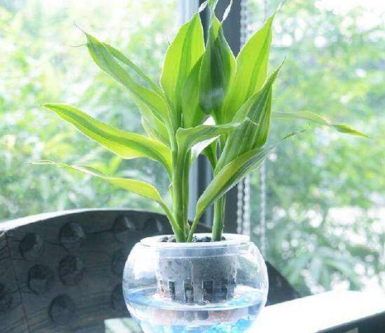 金边富贵竹可以水养吗?七个步骤帮你养出绿油
