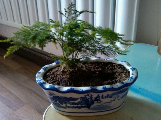 矮化的文竹盆栽