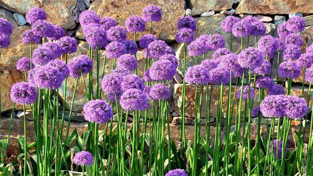多年生草本花卉有哪些?十大多年生草花品种介