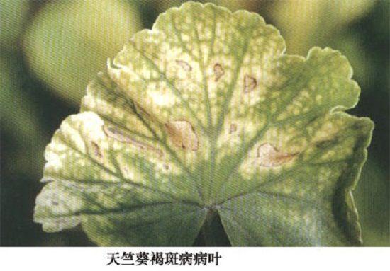 天竺葵真菌性褐斑病