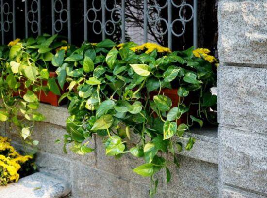 绿萝的花语是什么?绿萝象征坚韧善良守望幸福