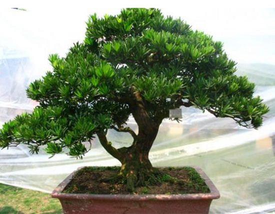 小叶罗汉松盆栽