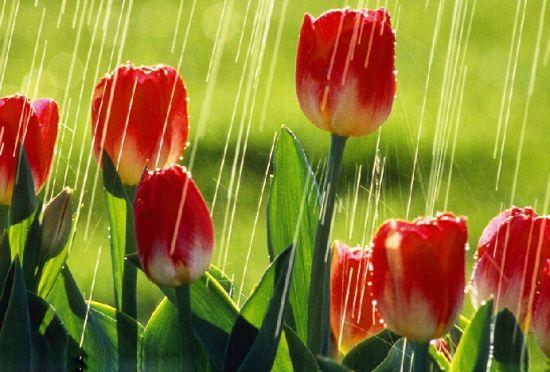雨水滴在郁金香上图片