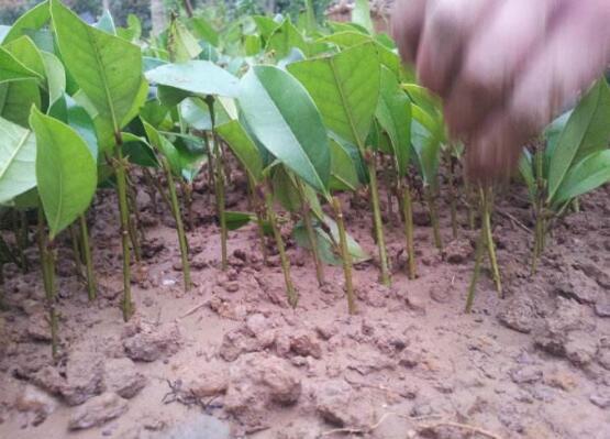 桂花扦插生根最快方法:扦插后30天就能生根长叶