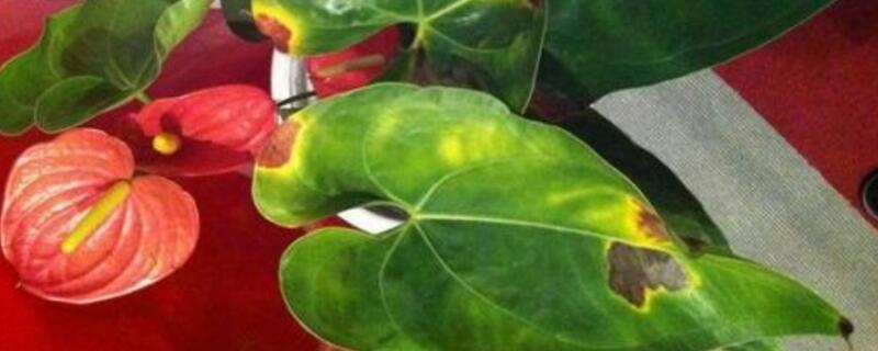 红掌花叶子烂了怎么办