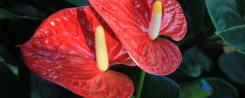 红掌的花变黑了怎么办?红掌变黑的解决办法