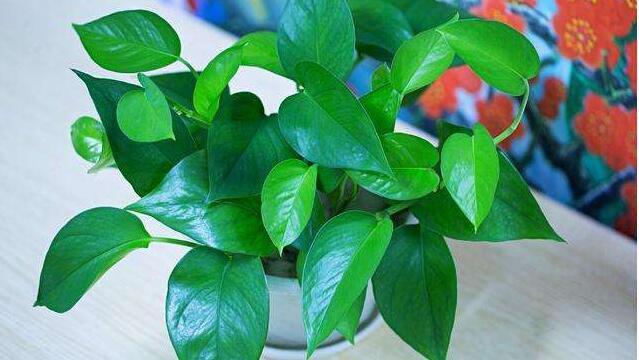 自制绿萝肥料方法
