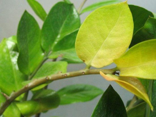金钱树叶子发黄
