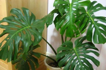 长势不错的龟背竹
