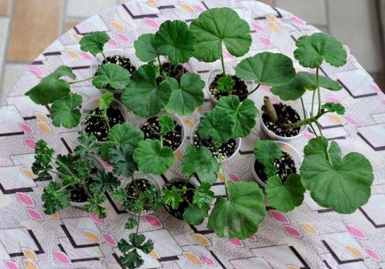新买来时天竺葵幼苗的全家福