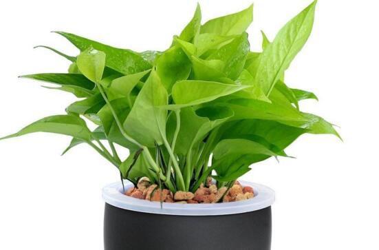 绿萝烂根的4种原因及解决办法