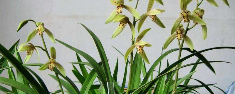 兰花什么季节开花?不同品种的兰花花期不同