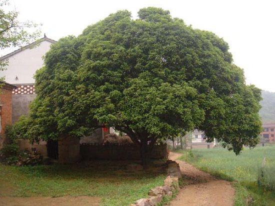 院子里的桂花树