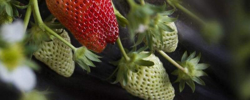 阳台如何种草莓?家庭阳台草莓种植方法
