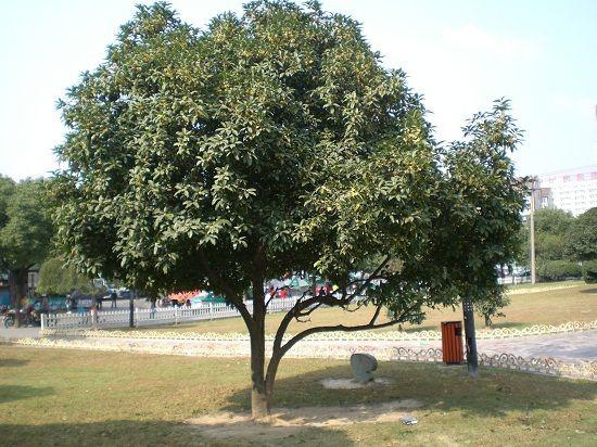 校园一角的桂花树