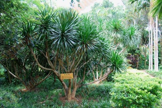 植物园里看到的龙血树图片