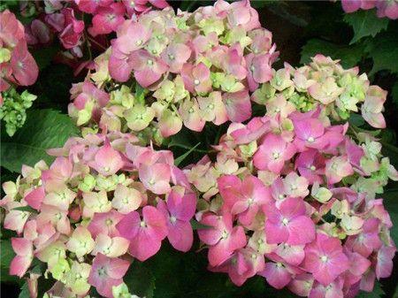 绣球花有多少种颜色(全解图示)