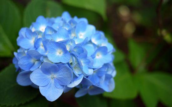 绣球花的品种和颜色介绍(全解图示)